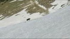 L'orso del Baldo non e' pericoloso