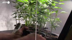 Cannabis terapeutica, presto produzione aziende in Italia